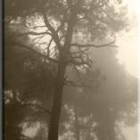 okleina drzewo