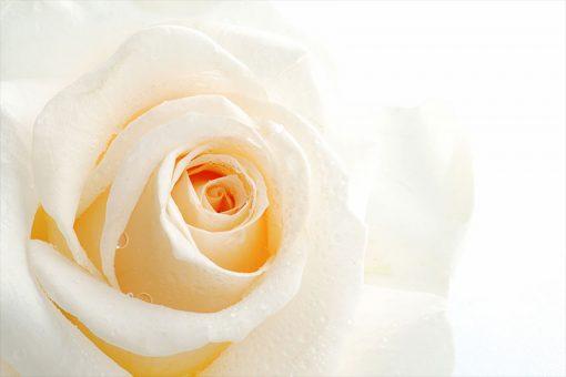 fototapeta z różą i kroplami rosy
