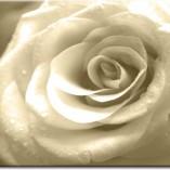 obrazy z rożą